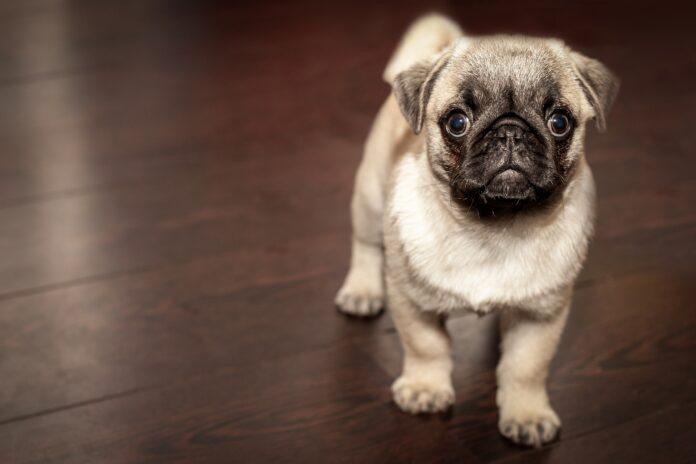 Pies w domu – plusy i minusy